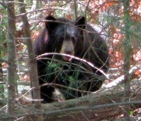 Black Bear Spotted Near Groton Road, Photograph Taken by Police Officer Mike Perciballi